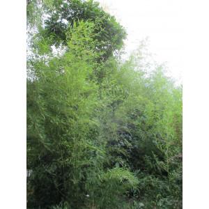 Арундинария (бамбук) (саженцы)