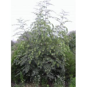 Держи-дерево, или держидерево, Христовы тернии
