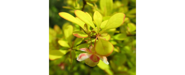 барбарис желтолистный